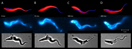 Comparison of the model and a real trypanosome during swimming motion (A–D).The swimming trajectory and dynamic shape of the simulated model trypanosome (top row) compares well with the forward swimming motion of the real trypanosome (middle and bottom row). Snapshots of the real trypanosome are taken at the indicated times from S4 Video. Fluorescently labelled surface (middle row) or untreated cells (bottom row) were recorded by high speed microscopy (200–500 frames per second). The cells, which exhibit similar speeds and rotational frequencies, show matching cell body conformations at all times over a swimming path of several cell lengths. These periodically repeating shape conformations are initiated by the bending wave passing along the flagellum and determine the trajectory of the swimming parasite.