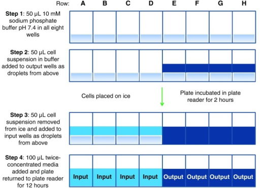 Cross-sectional depiction of the procedure for the addition of input and output controlE. coli cell suspensions in phosphate buffer to column 11 of Experiment 1 and column 10 of Experiment 2.