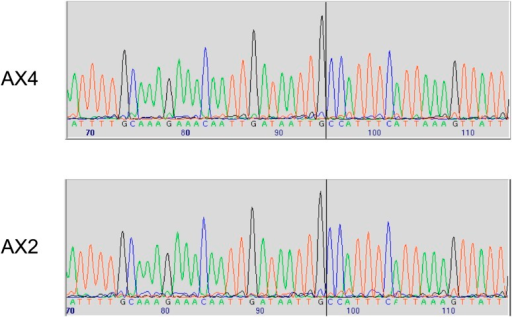 Two established axenic mutants possess identical complex mutations affecting the axeB gene.Genomic DNA isolated from the Kuspa laboratory stock AX4 and the Kay laboratory stock Ax2 was amplified using primers spanning the deletion-insertion mutation identified in the AX4 reference sequence, and sequence using a primer within the upstream gene. A black vertical line shows the 5′ boundary of the mutation; the boundaries and inserted sequence are identical. The mutation's effects on the parental DdB sequence are annotated in the sequence file deposited in the ENA database as HF565448. Resequencing of these strains' genomes, to be described elsewhere, confirmed this result.DOI:http://dx.doi.org/10.7554/eLife.04940.006