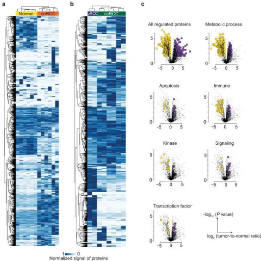 Comparative proteomic analysis of clear cell RCC tissues(a) Unsupervised clustering of 2,317 proteins quantified in ccRCC as measured by PCT-SWATH in tumorous and non-tumorous tissues. (b) Unsupervised clustering of 2276 proteins quantified in pRCC and ccRCC tumorous tissues. (c) Volcano plots of all regulated proteins and proteins belonging to specific protein classes, biological processes, and pathways. P values were calculated using paired two-tailed t-test. Regulated proteins were defined as fold change higher than 2 with P value lower than 0.05. Up-regulated and down-regulated proteins are shown in purple and yellow, respectively.