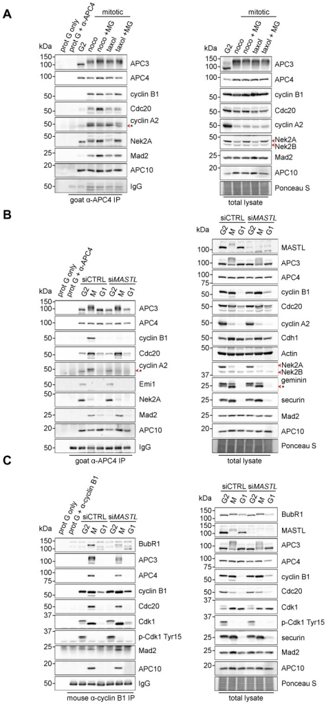 MASTL depletion significantly impairs cyclin B1 recruitment to the mitotic APC/C.(A) Cyclin B1 binds to the APC/C specifically in mitosis. HeLa cells were synchronised in G2 and M phase by a thymidine block, followed by nocodazole or taxol treatment. Cells arrested in mitosis were collected by mitotic shake-off, and treated for another 2 hours with 5 µM MG132 where indicated. Cell extracts were subjected to immunoprecipitation using a goat anti-APC4. Aliquots of the immunoprecipitates were analysed by western blotting. (B) MASTL silencing impairs the recruitment of cyclin A2 and cyclin B1 to the mitotic APC/C. HeLa cells transfected with indicated siRNAs were synchronised in G2 phase and mitosis using thymidine and taxol. Cells arrested in mitosis were obtained by mitotic shake-off and lysed directly or subsequently treated with 10 µM of RO-3306 for 90 minutes to obtain G1 phase cells. Cell extracts were subjected to immunoprecipitation using a goat anti-APC4 and aliquots of the immunoprecipitates were analysed by western blotting. Note that equal amounts of APC4 are immunoprecipitated in the mitotic fractions, whereas cyclins A2 and B1 bound to the APC/C are hardly detectable in the MASTL RNAi extracts. The asterisk (*) indicates the remaining securin signal after reprobing the blot with anti-geminin (right-hand panel). (C) Direct binding of cyclin B1 to the APC/C may depend on extensive APC3 phosphorylation in mitosis. HeLa cells treated as in (B), were subjected to immunoprecipitation using a mouse anti-cyclin B1. G1 phase cells were harvested 90 minutes after treatment with 10 µM of RO-3306. Aliquots of the immunoprecipitates were analysed by western blotting. For cyclin A2 blots in A,B, * denotes an aspecific band that is only observed upon immunoprecipitation.
