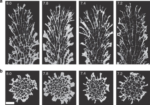 Coral skeleton morphology in the four pH treatments imaged by micro-CT.(a) Representative longitudinal sections; (b) transverse sections. pH treatment is indicated in the top left corner of each image. Scale bar, 1 mm.