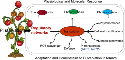 Schematic model and systematic pathway to Pi starvation, its tolerance and homeostatic mechanisms in tomato plants.Pi starvation affects the cellular processes like energy production, photosynthesis, photorespiration, and various metabolic pathways (transcription/translation) whereas, the regulatory pathways to defend Pi starvation for tolerance and its homeostasis were regulated in tomato plants as described in our proteome data and transcript levels.