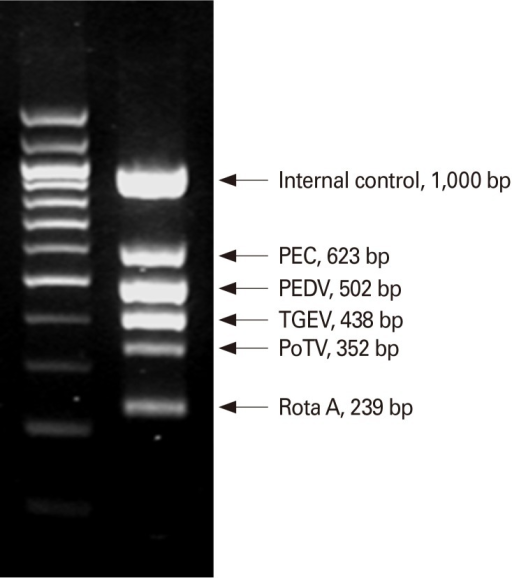 The multiplex RT-PCR assay and dual priming oligonucleotide (DPO) system can be used in diagnosis of porcine epidemic diarrhea virus (PEDV). PEC, porcine enteric calici virus; TGEV, transmissible gastroenteritis virus; PoTV, porcine torovirus; RotaA, rotavirus type A.