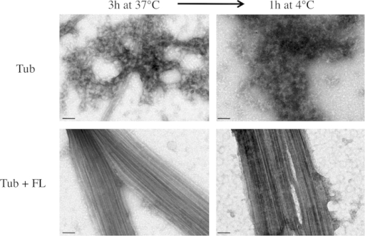 Microtubule bundle cold stability induced by TPPP/p25.Microtubules were assembled from tubulin solutions (15 μM) in the absence or presence of TPPP/p25 fragments (15 μM) to steady state and then the temperature was dropped to 4 °C. EM images of the solutions were taken at the indicated times (scale bars = 50 nm).