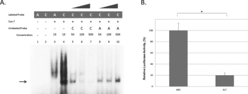 FZD6 rs138557689/C creates an allele-specific protein-binding complex and decreases FZD6 promoter activity. (A) Electrophoretic mobility shift assays (EMSA) were performed using nuclear extract from Cos7 cells. Samples were incubated with P32-labeled oligonucleotides containing either the ancestral A or alternate C alleles, or with unlabeled ancestral A or alternate C serving as specific competitors. Poly-dCdG was used as a nonspecific competitor. Negative controls were run using labeled probes without the nuclear extract. Bands were observed with the C allele only and the alternate band was competed out with C competitor only. (B) Hek293T cells (100,000 cells/well) were seeded for 24 h and cotransfected with ancestral or alternate promoter construct and Renilla reporter construct. Luciferase activities were normalized to the internal Renilla control. Data represent mean values ± SD from three independent experiments. Alternate C allele showed significant decrease in activity (*P < 0.001, unpaired t-test).