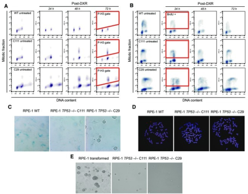 Characteristics of the RPE-1 TP53−/− cell linesAssays for loss of function of p53 in RPE-1 WT and the TP53−/− cell lines, C29 and C111. Cells were challenged with doxorubicin (DXR, 1.5 μM) for 1 h and then released into fresh media.The cells were released into medium containing 100 ng/ml nocodazole. Since p53 is a mediator of the DNA damage response in G2/M transition, cells with functional p53 are expected to be arrested in G2 due to massively damaged DNA (Bunz et al, 1998). When the DNA damage response is lost due to lack of p53 function, cells can enter mitosis where they are trapped with nocodazole. After 24, 48, and 72 h of incubation, cells were collected and stained with phosphohistone H3 antibody, a marker for mitotic cells. Cells were then analyzed by flow cytometry for their DNA and mitotic content. The gating for mitotic cells positive for P-H3 is exemplified in red after 72 h post-doxorubicin.The cells were released into fresh medium. Since p53 also functions during G1/S transition, cells with functional p53 are expected to be arrest in G1 while the cells lacking p53 function continue cycling. After 24, 48, and 72 h of incubation, cells were pulsed for 1 h with BrdU in order to detect ongoing DNA replication. Cells were then analyzed by flow cytometry for their DNA and S phase content. The gating for mitotic cells positive for BrdU-FITC is exemplified in red after 24 h post-DXR. Please note the decrease in BrdU-positive cells in RPE-1 WT as well as the increase in G1 cell populations. In stark contrast, TP53−/− cells have ongoing DNA replication even after massive DNA damage.Detection of senescent cells through measurement of β-galactosidase activity at pH 6, reflecting a known characteristic of senescent cells not found in dividing, quiescent or immortal cells. Cells were released into fresh media. After 72 h, the activity of β-galactosidase was assessed. Experiments were done in triplicate, and exemplary images are shown. Note that the RPE-1 WT cells were stained positive for β-galactosidase indicating senescence. In contrast, very few cells in TP53−/− cell lines were stained positive. Moreover, we frequently found dividing cells indicating a cycling population only in cells with non-functional p53.Exemplary images of the metaphase spreads of the RPE-1 WT and the TP53−/− cell lines. Cells were fixed and stained with the pan-centromere probe for probing the centromeric regions of all chromosomes, and Hoechst to mark chromosomes. Experiments were done in triplicate. The mean count distribution is plotted in Fig1C.Exemplary images of RPE-1 cell lines after soft agar assay. Transformed RPE-1 cells as well as the two TP53−/− cell lines were incubated in soft agar for 25 days and imaged afterwards. Experiments were done in triplicate. The transformed cells were able to form colonies in agar, whereas the untransformed C29 and the C111 clones were not.