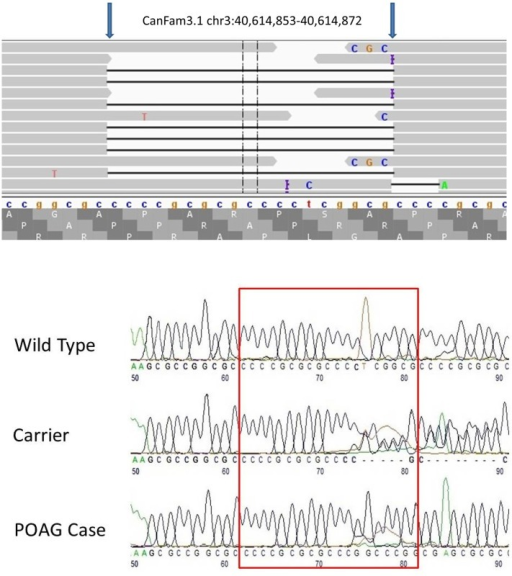 Next generation and Sanger sequencing results depicting the site of 19bp deletion in the Basset Hound with POAG.a) IGV view of the 19 bp deletion in a Basset Hound affected with POAG. The location of this homozygous deletion is chr3:40,614,853–40,614,872 (CanFam3.1). b) Electropherograms depicting the site of the deletion. The red box delineates the affected sequence in wild type, carrier and POAG-affected dogs.
