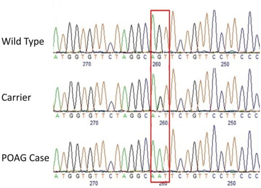 Electropherograms depicting the site of the missense mutation in the Basset Fauve de Bretagne affected with POAG.The red box depicts the exact site of the mutation (CanFam3.1 chr3:40,808,345). At this location, the wild type is GG, the carrier is AG and the POAG case is GG.
