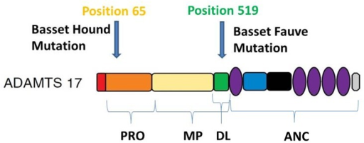 ADAMTS17 protein structure denoting amino acid positions of the Basset Hound and Basset Fauve de Bretagne POAG mutations.ADAMTS17 is composed of a signal peptide (SP), prodomain (PRO), catalytic domain (CAT) (composed of the metalloproteinase (MP) and disintegrin-like domains (DL)) and an ancillary domain (ANC). The Basset Hound deletion corresponds to amino acid position 65 which is located in PRO. The Basset Fauve de Bretagne mutation corresponds to amino acid position 519 which is located in DL. Adapted from Kelwick et al. [31]