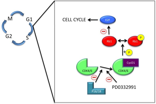 The cyclin D1-cyclin-dependent kinase 4/6-retinoblastoma 1 pathway. Abbreviations: M – mitosis; G1 – gap 1; S – synthesis; G2 – gap 2; Rb1 – retinoblastoma 1; CDK4/6 – cyclin-dependent kinase 4/6; cycD1 – cyclin D1; P – phosphate group.