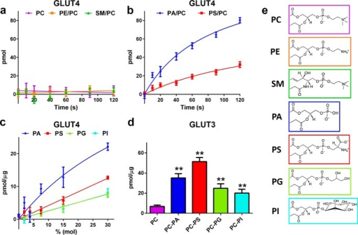 "Anionic phospholipids are required for GLUT4- and GLUT3-mediated d-glucose uptake.a and b, time-dependent specific uptake of d-[3H]glucose into GLUT4-containing PC liposomes in the presence or absence of 15% (mol/mol) zwitterionic lipids (a) and anionic phospholipids (b). Data are the mean ± S.E. of three independent experiments. c, specific uptake of d-[3H]glucose into GLUT4-containing PC liposomes with increasing concentrations of anionic phospholipids. Uptake data were normalized to GLUT4 concentration as described under ""Experimental Procedures."" Uptake data (40 s) are the mean ± S.E. of three independent experiments. d, specific uptake of d-[3H]glucose into GLUT3-containing PC liposomes in the presence or absence of 15% (mol/mol) anionic phospholipids. Uptake data were normalized to GLUT3 concentrations as described under ""Experimental Procedures."" Uptake data (40 s) are the mean ± S.E. of four independent experiments. Asterisks denote statistically significant differences (**, p ≤ 0.01) compared with PC control as determine by one-way ANOVA plus a posteriori Holm-Sidak test. e, chemical structure of each of the lipid headgroups are colored-coded for comparison. Lines depicted in a–c are non-linear fits of the data to guide the readers' eyes."