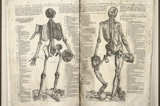 <p>Image of two facing pages, showing the fourth and fifth &quot;figure of the muscles&quot;. The left hand page presents the frontal view and the right hand page shows the back view of the human skeleton, with a few muscles attached, plus the anatomy of the head and brain.  The bones and muscles on both charts are marked with single letters, with legends on each side of the figures providing names and explanations. &quot;Epitome&quot;, fol. 7b and 8a.</p>