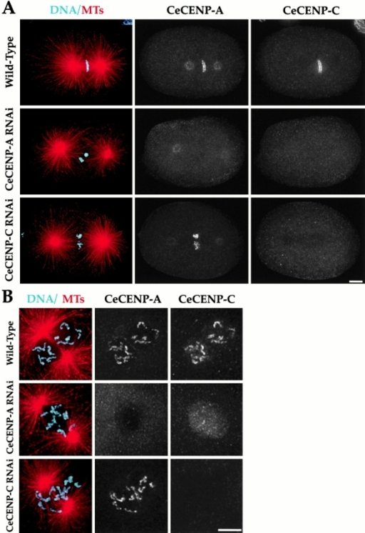 CeCENP-C localization to chromosomes requires CeCENP-A but not vice versa. Wild-type, CeCENP-A–, or CeCENP-C–depleted embryos were fixed and stained to visualize DNA (cyan), MTs (red), CeCENP-A, and CeCENP-C. Metaphase embryos (A) and higher magnification views of prophase/prometaphase nuclei (B) are shown. RNAi of either component reduces it to levels undetectable by immunofluorescence. Persistence of the spindle pole staining in CeCENP-A–depleted embryos indicates that this staining is nonspecific (see also Fig. 10 C). In the absence of CeCENP-A (A and B, middle rows), CeCENP-C is visible in nuclei during prophase, but is not observed associated with chromosomes at any point during mitosis. In contrast, in the absence of CeCENP-C, CeCENP-A associates with chromosomes throughout mitosis (A and B, bottom rows). All images are projections of three-dimensional stacks. Bars, 5 μm.