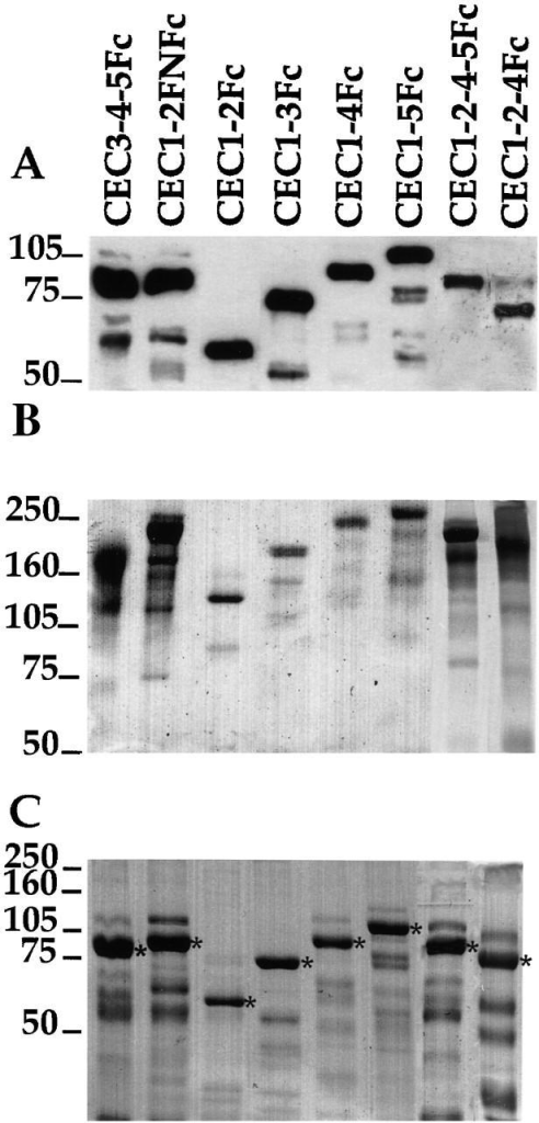 Expression and purification of the mutant cadherin proteins secreted from transfected CHO cells. (A) Western blotting of purified proteins with an anti–human Fc; (B) Coomassie staining of purified proteins on a non reducing gel; (C) Coomassie staining of purified proteins separated by an 8% reducing gel. *Indicate processed mature full-length protein as confirmed by NH2-terminal sequencing.