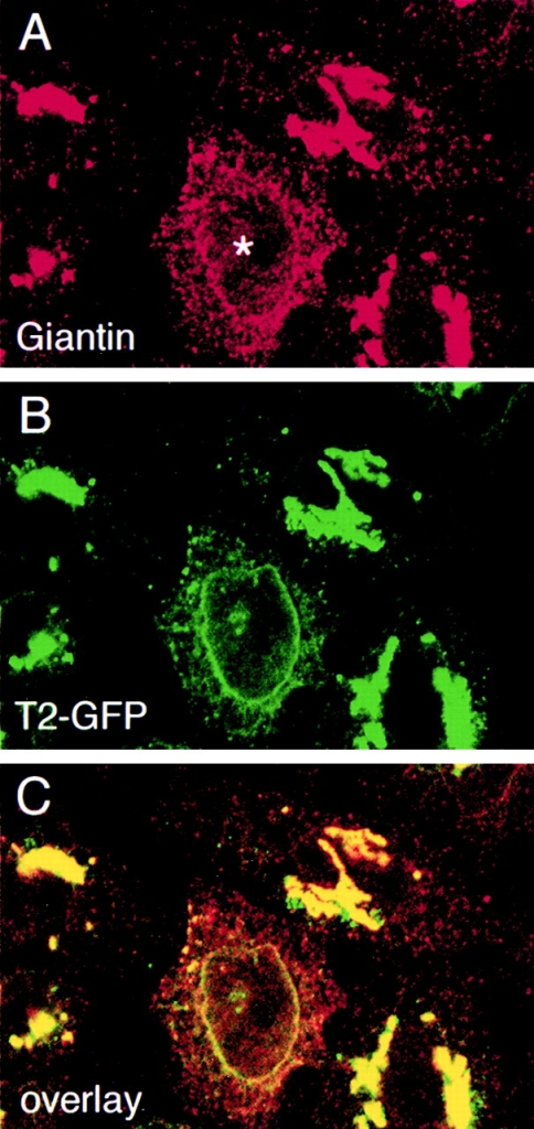 Confocal fluorescence microscopy colocalizes giantin with GalNAcT2 in the ER of cells expressing pSARAdn. HeLa cells stably transfected with GalNAcT2-GFP were microinjected with pSARAdn. After a 6 h expression period, cells were fixed and stained for giantin using a Cy3-conjugated second antibody. A, giantin; B, GalNAcT2-GFP; C, overlay. As shown by the overlay, giantin and GalNAcT2 appeared to extensively colocalize to the nuclear envelope and elsewhere within the cytoplasm. Such localizations are characteristic of the ER. Asterisk (A) indicates microinjected cell.
