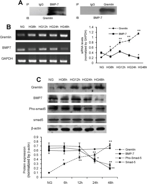 Gremlin interacts with BMP-7 and regulates BMP-7 activity in mesangial cells.Mouse mesangial cells were cultured in RPMI 1640 and collected 6 h, 12 h, 24 h and 48 h after HG stimulation. (A) Co-immunoprecipitation demonstrates an interaction between BMP-7 and Gremlin in mesangial cells. (B) mRNA levels of gremlin and BMP-7 are detected by RT-PCR. After HG stimulation, a significant increase in Gremlin mRNA level is observed after 6 hours incubation in high glucose, and the expression gradually increases with the culture duration. (C) The expression of BMP-7 mRNA dramatically decreases 48 hours later. Accordingly, increased Gremlin protein levels are observed in the cultured cells. Corresponding to a decrease in the protein level of BMP-7, the level of Smad-5 remained constant, whereas phosphorylated Smad-5 significantly and gradually decreases from 12 h to 48 h (* p<0.05, ** p<0.01 vs. the value of NG group).