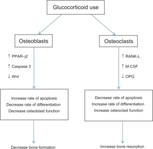 Downstream effect of glucocorticoids on bone metabolism.Abbreviations: PPAR-γ2, peroxisome proliferator-activated receptor-γ2; RANK-L, receptor activation of nuclear factor κB ligand; M-CSF, macrophage colony-stimulating factor; OPG, osteoprotegerin.