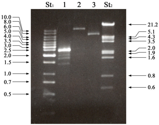 Agarose Gel Electrophoresis Of Dsrna From Botrytis Cine