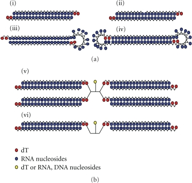 Duplex RNA architectures for RNA interference. (a) Described previously in the introduction: (i) canonical siRNA antiparallel duplex; (ii) small internally segmented interfering RNA (sisiRNA); (iii) small hairpin RNA (shRNA); (iv) dumbbell siRNA. (b) Branched siRNA described in this study: (v) four-stranded RNA; (vi) two-stranded RNA.