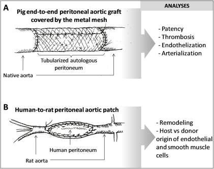 Graphic representation of the two types of experiments.A) A pig autologous end-to-end peritoneal implant was used to study patency, eventual thrombosis, endothelization and arterializations of the graft, 2 weeks after surgery. B) A human-to-rat peritoneal graft approach was set up to study remodeling of the peritoneum and to determine the host vs donor origin of cells that contributed to the process of endothelization and eventual arterialization.