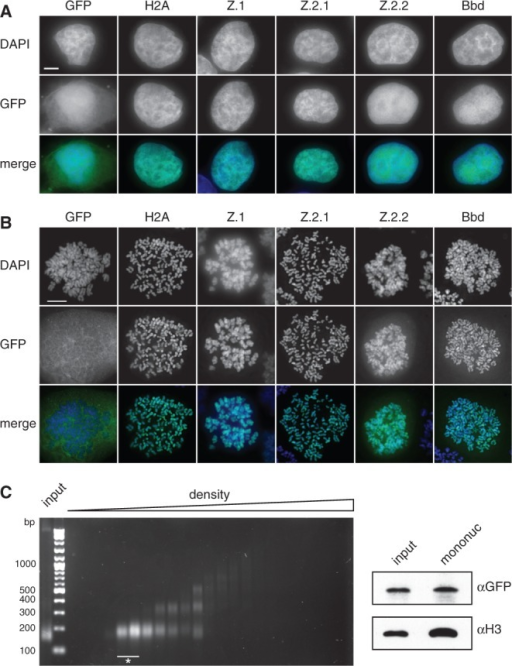 Z.2.2 localizes to the nucleus and is partially incorporated into chromatin. (A) Fluorescence imaging of stably transfected HeLa Kyoto cells shows nuclear localization of all GFP-H2A variants (middle). DNA was counterstained with DAPI (top). Overlay of both channels in color is shown at the bottom (Merge; GFP: green, DAPI: blue). Scale bar = 5 µm. (B) Deconvolved images of metaphase spreads of HeLa Kyoto cells stably expressing GFP-H2A variants (middle). Merged images in color are shown below (GFP: green; DAPI: blue). Scale bar = 10 µm. (C) Chromatin from HeLa Kyoto cells stably expressing GFP-Z.2.2 was digested with MNase followed by a purification of mononucleosomes using sucrose gradient centrifugation. Isolated DNA from subsequent sucrose gradient fractions was analyzed by agarose gel electrophoresis (left). Fractions containing pure mononucleosomes (marked with asterisk) were combined and analyzed by IB (right) using αGFP antibody for the presence of GFP-Z.2.2 (top), and αH3 (bottom).
