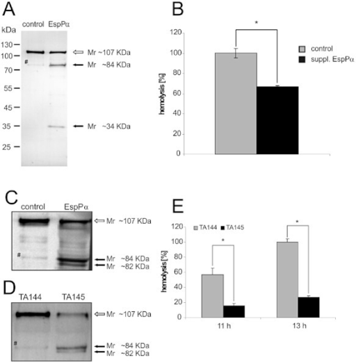 A and B. EspPα cleaves EHEC-Hly in bacterial culture. EHEC-Hly-producing strain TA48 was grown to early log phase and supplemented either with EspPα or with the EspPα-buffer control and incubated for further 2 h. (A) Sterile supernatants were TCA-precipitated, separated in SDS-PAGE and analysed in immunoblot using anti-EHEC-Hly antibody. The arrows indicate the 107 kDa band of EHEC-Hly (white arrow) or the specific Mr ∼84 kDa and ∼34 kDa breakdown fragments of EHEC-Hly (black arrows). The very weak immunoreactive band with a slightly higher Mr than that of the ∼84 kDa specific cleavage product (#) was present in all EHEC-Hly control preparations (see also C and D) and was therefore considered a background signal. (B) The sterile culture supernatants were assayed for their haemolytic activity, which was calculated as percentage of haemolysis (see Experimental procedures). Data in (B) are presented as means ± standard deviations of three independent assays. Statistically significant differences (P < 0.01, Student's t-test) are indicated by asterisk. C–E. Cleavage and inactivation of recombinant EHEC-Hly from EHEC O157 via EspPα from EHEC O157. Immunoblot analysis using anti-EHEC-Hly antibody of (C) recombinant isolated EHEC-Hly after incubation with buffer (control) or with recombinant purified EspPα, and (D) TCA-precipitated supernatants of clones TA144 and TA145 coexpressing recombinant EHEC-Hly and either EspPα (TA145) or the non-proteolytic EspPα mutant S263A (TA144). The arrows indicate the 107 kDa band of intact EHEC-Hly (white arrow) and the Mr ∼84 kDa and the ∼82 kDa EHEC-Hly cleavage products (black arrows). (E) Haemolytic activity of sterile culture supernatants of clones TA144 and TA145 after 11 h and 13 h of growth calculated as percentage of haemolysis. Data are presented as means ± standard deviations of at least three independent assays. Statistically significant differences between haemolytic activity of TA144 and TA145 (P < 0.01, Student's t-test) are indicated by asterisks.