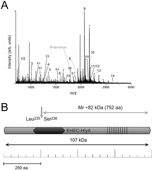 Mass spectrometric analysis of the trypsin-digested Mr ∼82 kDa breakdown fragment. A. Representative MALDI-TOF-MS spectrum of the Mr ∼82 kDa breakdown fragment of EHEC-Hly. Peaks identified as EHEC-Hly-specific (1–14), EspPα-specific (E1–E8) or EHEC-Hly-specific matrix adducts of 189 m/z units (*) are indicated. B. Schematic illustration of the 107 kDa large EHEC-Hly with its structural domains and the proposed cleavage site. The calcium-binding domain is indicated by strips and the hydrophobic domain is marked in dark grey. The EspPα cleavage site is located in the N-terminal end of the hydrophobic domain of EHEC-Hly as indicated by an arrow.