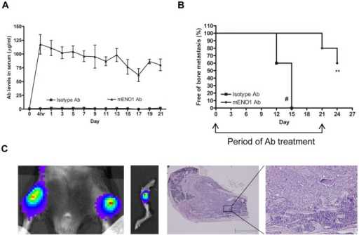 Tumor bone metastasis was suppressed by systemic administration of Ab against ENO1.(A) Serum level of Ab against ENO1 in mice adoptively transferred with an isotype-control or mENO1-specific Ab (mENO1 Ab) during the experimental period was determined by an ELISA. (B) Bone metastasis in mice (n = 5) after intracardiac injection of LLC/luc cells and treatment with an isotype-control or mENO1 Ab was detected by the IVIS System. The percentage of mice remained alive and free of bone metastasis after adoptive transfer of an isotype-control or mENO1 Ab was determined. Two mice treated with the isotype-control Ab died from lung metastasis by day 15 (#). The arrows indicated the period of Ab injection. (C) The tumor in the bone of mice treated with an isotype-control Ab was detected by the IVIS System (left 2 panels). Establishment of bone metastasis was confirmed by H&E staining (in the right 2 panels, scale bar is 1mm and 200 µm in each graph). **p<0.01. The error bars were defined as mean±SD.