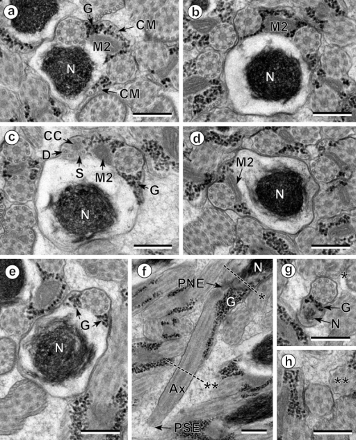 Spermatozoon of Pleurogenoides medians, posterior or nuclear part (Region III); all cross-sections except (f). (a, b) End of the two bundles of cortical microtubules (CM); G, granules of glycogen; M2, second mitochondrion; N, nucleus. (c) Disorganization of the first axoneme resulting into the central core (CC), doublets (D) and singlets (S). G, granules of glycogen; M2, second mitochondrion; N, nucleus. (d, e) Disappearance of the second mitochondrion (M2). G, granules of glycogen; N, nucleus. (f) Posterior spermatozoon extremity (PSE). Note the posterior nuclear extremity (PNE). Cross-sections of levels * and ** are shown in (g) and (h). Ax, axoneme; G, granules of glycogen; N, nucleus. (g, h) Sections similar to level of * and **, respectively, in (f). G, granules of glycogen; N, nucleus. Scales in μm: 0.3.