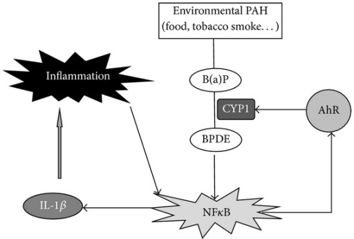 Hypothetical role of the AhR pathway in the development of inflammatory bowel disease after exposure to environmental PAH. B(a)P: benzo(a)pyrene; BPDE: benzo(a)pyrene diol epoxide.