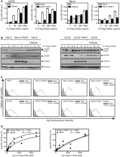 TRAF1 expression interferes with CD40-induced signaling. (A) U2OS and 786-O cells with and without TWEAK priming (200 ng/ml, 6 h) and U2OS-TRAF1 and 786-O-TRAF1 transfectants were stimulated in 96-well plates in triplicates with the indicated concentrations of Fc–Flag-CD40L. Next day, supernatants were assayed for production of IL8 or IL6 by ELISA. Prior stimulation cell culture medium was replaced to reduce the background caused by constitutive cytokine production. (B) U2-OS and 786-O cells with and without TWEAK priming and TRAF1 expressing U2-OS and 786-O transfectants were stimulated with Fc–Flag-CD40L for 5 and 15 min and were finally analyzed by western blotting to detect the indicated molecules. Please note, in the case of the TRAF1 western blots a relatively short exposure time is shown to ensure reasonable visibility of overexpressed and TWEAK-induced TRAF1. (C) 786-O and U2-OS cells and their corresponding TRAF1 transfectants were primed overnight with soluble TWEAK or remained untreated and were then analyzed by FACS for CD40 cell surface expression. (D) Cells (2 × 105 cells/well) were seeded in 24-well plates. Next day, half of the samples of each cell type were pretreated for 1 h at 37°C with 2 μg/ml of Fc–Flag-CD40L. Next, untreated and Fc–Flag-CD40L pretreated cells were incubated pairwise with increasing concentrations of GpL–Fc–Flag-CD40L (1 h, 37°C), a fusion protein of Fc–Flag-CD40L with the luciferase from Gaussia princeps. After removal of unbound CD40L molecules, cells were scratched in 50 μl medium to measure cell-associated luciferase activity. Specific binding values were obtained by subtraction of the non-specific binding values derived of Fc–Flag-CD40L pretreated cells from the corresponding total binding values. Specific binding values were fitted by non-linear regression using the GraphPad Prism5 software. Specific binding values were normalized according to the maximum binding value obtained from the linear regression.