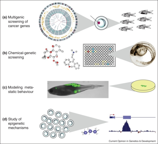 zebrafish genetic screening Embryonic and larval danio rerio (zebrafish) is increasingly used as a toxicological model to conduct rapid in vivo tests and developmental toxicity assays the zebrafish features high genetic homology to mammals, robust, phenotypes, high-throughput genetic and chemical screening have made it a powerful tool to evaluate in vivo toxicity new.