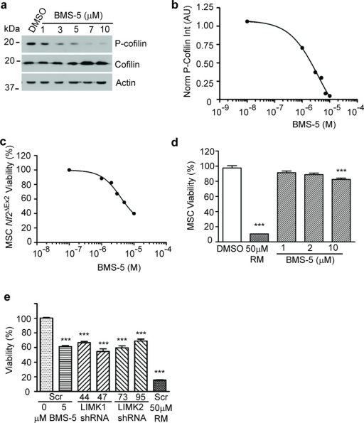 LIMK inhibition by BMS-5 or silencing by shRNA in Nf2ΔEx2 MSCs decreases cell viability. (a) BMS-5 dose-response western blot. Nf2ΔEx2 MSCs were plated in 12-well plates. Cultures were treated the next day as indicated for 30 min. Cells were harvested, lysed and analyzed by western blotting for phospho-Ser3-cofilin and total cofilin. β-actin levels were used as loading controls for normalization. Representative blot of three independent experiments. (b) BMS-5 dose-response curve of cofilin phosphorylation in Nf2ΔEx2 MSCs. Analyzed as log [inhibitor] vs. response, variable slope (four parameters). (c) BMS-5 dose viability-response curve. Nf2ΔEx2 MSCs were seeded at 5 000 cells/well in 20 µl growth medium phenol-red free in a 384-well plate and after attachment were incubated with BMS-5 for 24 hrs. Cell viability was measured with the CellTiter-Fluor assay. Graph represents the mean ± SEM of 3 independent experiments analyzed together (n=96) log [inhibitor] vs. response, variable slope (four parameters). (d) BMS-5 viability response of control MSCs. Cell viability was measured as in (c). Graph represents the mean ± SEM (n=16). DMSO control was considered 100% viability. Rapamycin (RM) (50 µM) was a positive control for cell death. ***P<0.001 determined by one-way ANOVA using Dunnett's multiple comparison test.(e) Viability of Nf2ΔEx2 MSCs expressing LIMK 1 or LIMK2 shRNAs were compared to cells expressing scrambled shRNA untreated or treated with 5 µM BMS-5 or 50 µM rapamycin (RM) for 24 hrs in a 384-well format. Cell viability was measured with the CellTiter-Fluor assay. Nf2ΔEx2 MSCs expressing scrambled shRNA represented 100% viability, and the 50 µM RM treated cells were a positive control for cell death. Graph represents the mean ± SEM of 4 independent experiments analyzed together (n=128). ***P<0.001determined by one-way ANOVA using Dunnett's multiple comparison test