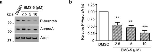 Inhibition of LIMKs decreases Aurora A autophosphorylation. (a) Representative western blot of three independent BMS-5 dose-response experiments. Nf2ΔEx2 MSCs were plated in half of a 12-well plate and treated the next day with increasing BMS-5 concentrations or DMSO for 8 hr. Cells were harvested, lysed and 10 µg of protein were analyzed by western blotting for phospho-Thr288-Aurora A and Aurora A. β-actin levels were used as loading controls. (b) Quantification of BMS-5 effect-response on Aurora A phosphorylation. Graph represents the mean ± SEM (n=3), **P<0.01; *** P<0.001 determined by one-way ANOVA using Dunnett's multiple comparison test.