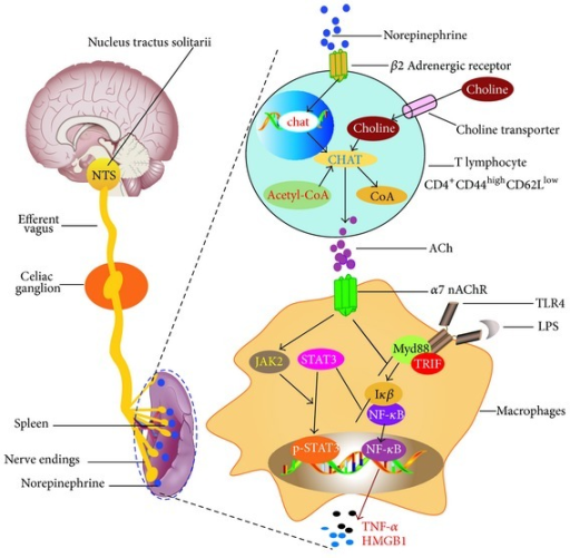 The hypothetical model of cholinergic anti-inflammatory pathway.