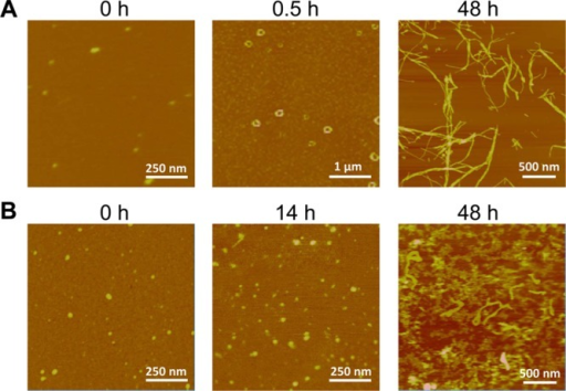 AFM imagesof (A) AβpE3–42 and (B) Aβ1–42 aggregated peptides after different periods ofincubation. Images were acquired in air. A 10 μL droplet wasdeposited on a mica surface for 5 min, rinsed with ∼ 50 μLpure water and dried with gentle N2 flow. The verticalcolor-coded scale is 10 nm everywhere except for the 48 h images,where it is 50 nm.