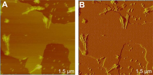 AFM (A) height and (B) amplitude images of AβpE3–42 fibrils formed on a supported DOPS/POPE (1:1)lipid membrane afterincubation for 38 h at room temperature. Fibril structures on a seeminglyintact membrane are observed. The vertical color-coded scale is 25nm for panel A.
