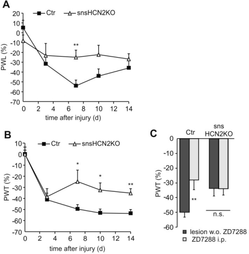 Mice with a selective deletion of HCN2 in peripheral sensory neurons (snsHCN2KO) display reduced neuropathic pain behavior in response to (A) noxious heat and (B) mechanical stimulation (n = 9–10 mice); (C) Block of HCN channels by intraperitoneal (i.p.) injection of ZD7288 (4 mg/kg) 14 days after nerve injury significantly decreased mechanical hypersensitivity in controls (Ctr), but had no effect in snsHCN2KO (n = 5 mice). All data are presented as relative difference between the injured right and the non-injured left hindpaw ((R − L)/L × 100). PWT and PWL, paw withdrawal threshold and paw withdrawal latency, respectively. *p < 0.05, **p < 0.01. n.s., non significant.