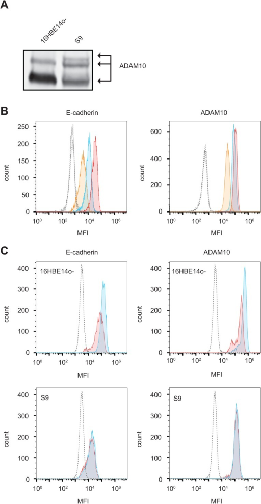 Involvement of surface proteins in Hla mediated cytotoxicity.A. Western blot analysis of ADAM10 expression in 16HBE14o- and S9 cells. Signals corresponding to mature and processed ADAM10 are indicated. B. Quantification of surface E-cadherin (left panel) and ADAM10 (right panel) in 16HBE14o- (red), A549 (blue) and S9 (orange) cells as analyzed by flow cytometry. Corresponding isotype controls are indicated as dashed shapes. C. Flow cytometry analysis of surface expression of E-cadherin (left panels) and ADAM10 (right panels) in 16HBE14o- (upper panels) and S9 (lower panels) cells after 2 h under control conditions (blue) or following 2 h treatment with rHla (red). The corresponding isotype control is indicated by a dashed line. MFI: mean fluorescence intensity.