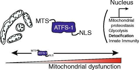 The ATFS-1-mediated mitochondrial unfolded protein response. The UPRmt is a protective transcriptional response to the accumulation of unfolded proteins or respiratory chain dysfunction that promotes adaptation and survival during mitochondrial dysfunction. Cells utilize the transcription factor ATFS-1 to monitor mitochondrial function and adjust transcription accordingly. Like PINK1, ATFS-1 is imported into mitochondria and quickly degraded in healthy cells, but accumulates in the cytosol during mitochondrial stress due to respiratory chain dysfunction, unfolded protein accumulation or high levels of reactive oxygen species, when mitochondrial import efficiency is impaired. Because ATFS-1 has a nuclear localization sequence (NLS), as well as its mitochondrial localization sequence (MTS), this causes it to localize to the nucleus, where it induces the transcription of genes involved in mitochondrial protein homeostasis, reactive oxygen species (ROS) and small molecule detoxification, glycolysis, and innate immunity.