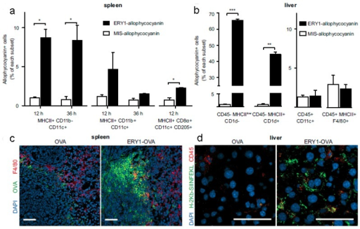 RBC-bound allophycocyanin uptake by splenic DC subsets and nonprofessional APCs in the liver. (a) Increased cellular uptake of ERY1-allophycocyanin by MHC II+ CD11b- CD11c+ and MHC II+ CD8α+ CD11c+ CD205+ splenic DCs at 12 and 36 h postinjection, compared with MIS-allophycocyanin. (b) Increased cellular uptake of ERY1-allophycocyanin in the liver by hepatocytes (CD45- MHC IIlow CD1d-) and hepatic stellate cells (CD45- MHC II+ CD1d+) but not by liver DCs (CD45+ CD11c+) or Kupffer cells (CD45+ MHC II+ F4/80+), compared with MIS-allophycocyanin, 36 h following i.v. administration (n = 2). *P ≤ 0.05; **P ≤ 0.01; ***P ≤ 0.001. Data represent mean ± SE. (c) Spleen microscopy images of mice 24 h following administration of 10 μg OVA(Left) or ERY1-OVA(Right), stained for OVA (green), F4/80 (red), and DAPI nuclear staining (blue). (Scale bar = 50 μm.) (d) Liver microscopy images of mice 24 h following administration of 10 μg OVA (Left) or ERY1-OVA (Right), stained for MHC I H-2Kb-SIINFEKL (green), CD45 (red), and DAPI for nuclear staining (blue). (Scale bar = 50 μm.) Reproduced with permission58. Copyright 2014, ACS.