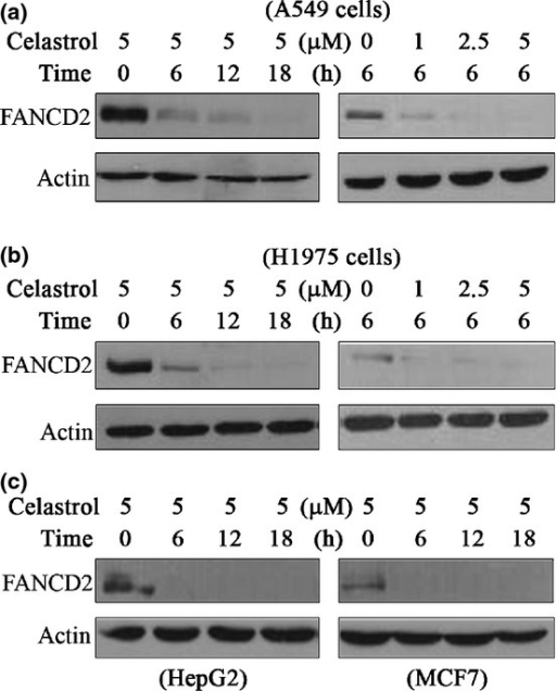 Celastrol induces degradation of FANCD2. (a, b) A549 cells and H1975 cells were treated with celastrol at indicated time points and indicated concentrations, lysed, and Western blotting was performed using anti-FANCD2 and anti-Actin antibodies. (c) Western blot analysis of FANCD2 expression in HepG2 and MCF-7 cells treated with celastrol.