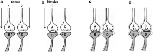 Formation and reactivation of inter-postsynaptic functional LINKs. a The illustration shows functional LINK formation between two postsynaptic membranes (postsynapses or dendritic spines) B and D when they are simultaneously activated when two stimuli are associated. The functional LINK is reversible, stabilizable and its formation is a function of the simultaneous activation of postsynapses B and D. A and C are corresponding presynaptic terminals. b At a later time, when one of the stimuli arrives at postsynapse B through synapse A–B, functional LINK B–D is re-activated, resulting in the activation of postsynaptic membrane D. This induces a unit of internal sensation of activity arriving from presynaptic terminal C. The reactivation of the functional LINK is a function of arrival of activity at one of the postsynaptic terminals. c Two abutted synapses are shown with their presynaptic and postsynaptic terminal membranes in lipid bilayers. Note that the postsynaptic membranes are separated by extracellular matrix space. d The formed inter-postsynaptic functional LINK is shown in red. Both direct membrane contact by excluding inter-membrane hydrophilic region and reversible partial membrane hemifusion are common mechanisms (Figure modified from Vadakkan 2010)