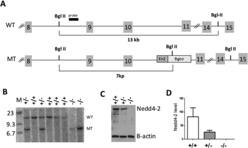 Generation of Nedd4-2 knockout mice.(A) Schematic representation of the genetic strategy used to target Nedd4-2. The gene-trap cassette composed of the Engrailed 2 (En2) splice-acceptor sequence and the fusion β-galactosidase-neomycin gene (βGeo) is inserted between exons 10 and 11 causing a change in the size of the Bgl II DNA restriction fragment. (B) Southern blot using the probe shown in (A) and genomic Bgl II-digested DNA from wild-type (+/+), heterozygous (+/−), and homozygous Nedd4-2 mutant (−/−) mice. (C) Western blot analysis of Nedd4-2 protein in lysates from +/+, +/− and −/− mouse E13.5 embryo DRG. Note the loss of about 50% of Nedd4-2 protein in the +/− sample. β-actin was used as a control for loading. (D) Quantification of Nedd4-2 band intensity as shown in (C) relative to β-actin; n = 3.