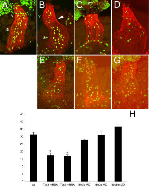 The pattern of proliferation along the heart tube is dynamic and is regulated by Tbx3 and Tbx2.All images represent reconstructions of confocal Z-stack sections imaged on whole embryos at 31hpf (A) and 33 hpf (B–G). (A, B) During the first steps of looping, the pattern of proliferation shifts from homogenous throughout the heart tube (31 hpf, A) to a heterogenous one in which dividing cells are more concentrated in the future chambers (33 hpf, B). (C, D) In Tbx3- (C) and Tbx2- (D) injected embryos at 33 hpf this shift has not occurred and the number of dividing cells was significantly decreased and dividing cells were homogenously distributed (H). (E–G) MO-injected embryos against tbx3b (E), tbx2a (F) or both (G) display the same (E, F) or higher (G) number of proliferating cells than wild type at 33 hpf. However, proliferating cells remain homogenously distributed throughout the heart tube. (H) Histogram showing the average of the total number of BrdU positive cells in the heart of 33 hpf embryos: wt, 31.4±1.661 (n = 5); Tbx3 mRNA, 17.5±1.708 (p<0.001; n = 6); Tbx2 mRNA, 17.0±1.000 (p<0.001; n = 7); tbx3b MO, 28.0±0.408 (n = 4); tbx2a MO, 31.3±2.658 (n = 4); double MO, 36.8±1.797 (n = 4). a, atrium; h, heart; nt, neural tube; v, ventricle.