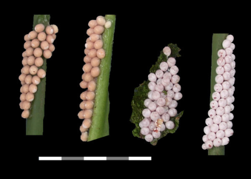 Maturation of Pomacea paludosa eggs. Maturation from freshly laid salmon colored eggs in a thick mucus matrix (left), to the mature pinkish white eggs in calcified shells (right). Scale Bar: 5 cm.