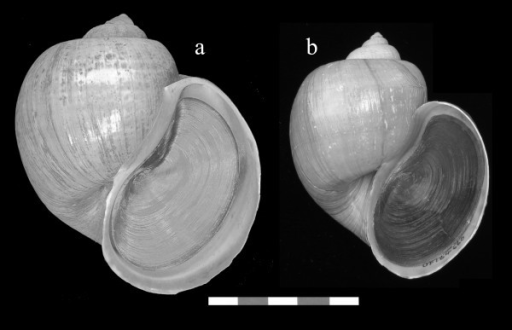 Morphological correspondence between the possible syntype of Pomacea haustrum and Pomacea specimens collected in Palm Beach, Florida. a. Possible syntype of Pomacea haustrum (BMNH 20020660), b. Specimen originally identified as Pomacea canaliculata collected in 1978 in Florida (FLMNH 184660), which we believe to be Pomacea haustrum. Scale Bar: 5 cm.