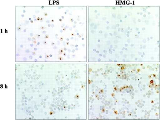 TNF expression in HMG-1–stimulated human PBMCs. Human PBMCs were cultured alone or with either rHMG-1 (1 μg/ml) or LPS (100 ng/ml) (1 or 8 h), then stained for intracellular TNF. TNF-producing monocytes are revealed with an intracellular, round brown dot, representing an accumulation of TNF in the Golgi organelle of producer cells. The number of TNF-expressing monocytes in the LPS-stimulated cultures was increased significantly within 1 h compared with HMG-1–stimulated or unstimulated cultures. In contrast, HMG-1 stimulation significantly increased TNF expression at 8 h. No TNF was detected in unstimulated cells. Note pronounced monocyte aggregation after 8 h of culture.