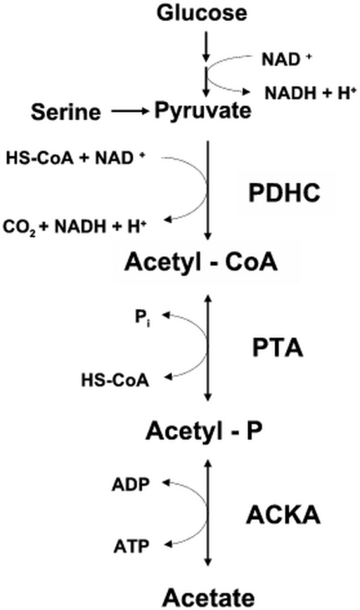 Fig. 1                  The PDHC-PTA-ACKA pathway: Glucose and serine (the preferred sugar and amino acid carbon sources of E. coli) are metabolized to pyruvate. The pyruvate is converted to acetyl-CoA through the action of pyruvate dehydrogenase complex (PDHC). The acetyl-CoA is converted to acetyl-P by phosphotransacetylase (PTA) and the acetyl-P is converted to acetate by acetate kinase (ACKA). HS-CoA, coenzyme A; NAD+ and NADH, oxidized and reduced forms of nicotinamide adenine dinucleotide; Pi, inorganic phosphate.